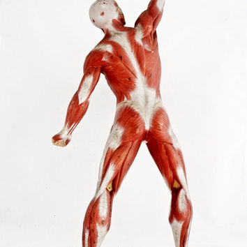 Male Muscle Figure Anatomical Model SOMSO Germany 1/4 Natural Size Vintage Anatomical Teaching Model