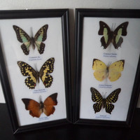 6 Real Butterflies Framed Display Lepidoptera Zoology Taxidermy Butterfly Collectable Insects Moths