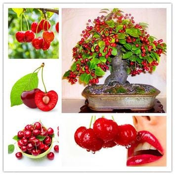 10Pcs/Bag Red Cherry Seed Balcony Garden Fruit Bonsai Potted Plant Seed Green Bonsai Cherry Organic Fruits Seed