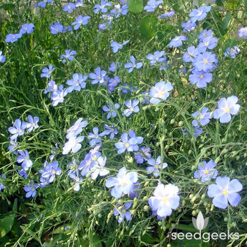 Blue Flax Wildflower Heirloom Seeds - Non-GMO, Open Pollinated, Untreated, Flower Seeds, Wildflower