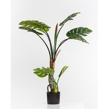 "43.25"" Split Leaf Philodendron Plant w/Pot - Coco's Plantation"