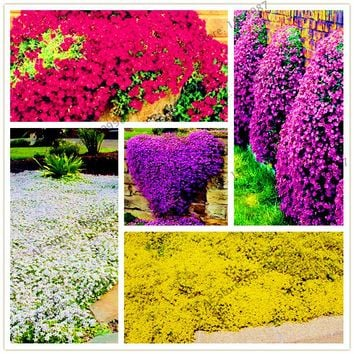 205pcs/pack ROCK CRESS Seeds Perennial Creeping Thyme Seeds or Blue Ground cover flower Natural growth for home garden