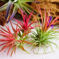 Ionantha Fuego Air Plant ~ Plant only (1 plant) - Beautiful Red Color when in Bloom ~ May NOT be in Bloom ~ Change Quantity at checkout