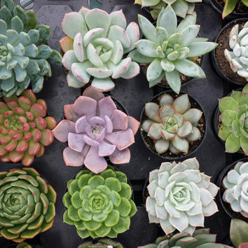 Succulent Plant.  You Choose 4. Choose any 4 plants that fit into your personal terrarium. Available in many assorted colors and textures.