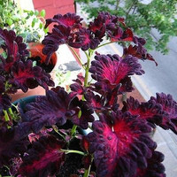 Coleus Black Dragon Flower Seeds (Solenostemon scutellarioides) 15+Seeds