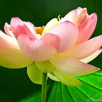 Nature Photography,  Pink Lotus Flower, Matted Print and Photo Card, Home Decor, Meditation, Yoga, Pink and Green