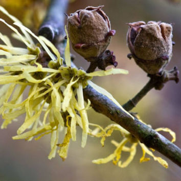 10 seeds witch hazel, Hamamelis virginiana, witch hazel, coffee devil, true ally of blood circulation!