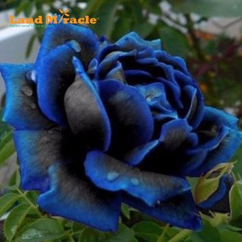 Rare Blue Black Rose Seeds