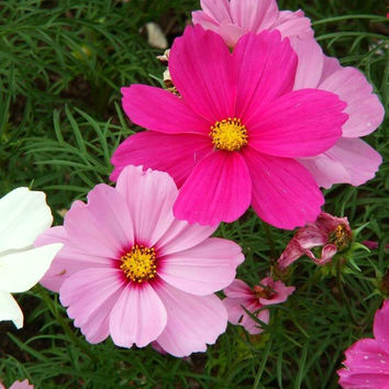 Cosmos Bipinnatus Sensation Flower Mix - 350 Seeds