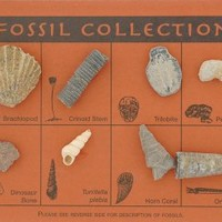 Fossil Collection - 12 Unique Fossils - Descriptions Included