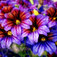 333,000 Seeds 100 grams Salpiglossis Painted Tube Tongue Velvet Trumpet Flower B0119(1)