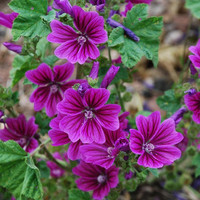 Hollyhock Mauritiana Flower Seeds (Malva Sylvestris) 40+Seeds