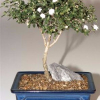 Snow Rose Serissa Bonsai Tree - Medium(serissa foetida)