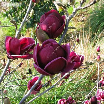 20 Pcs Red Magnolia Seed Home Garden Perennial Flowers Bonsai Tree Seedling Seed Natural Growth Tropical Ornaments Plants