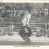 Postcards In The Attic: Animal Training St. Louis Zoo Lionesses Lions 1944 Vintage Postcard REFNOAPS20