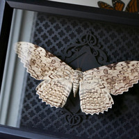 White Witch Moth Display