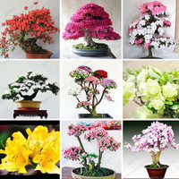 10 Pcs/bag Rare Bonsai 12 Varieties Azalea Seeds DIY Home & Garden Plants