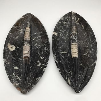 """2pcs,About 12""""x5.3"""" Fossils Orthoceras Ammonite Plates Dishes @Morocco,MF1352"""