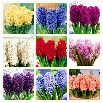 100pcs/bag Hyacinth seeds bonsai Flower Seeds (not hyacinth bulb)Holland  Hydroponic flower outdoor plant