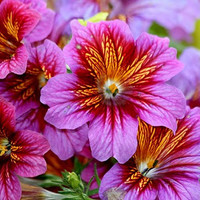 Heirloom 1000 Seeds Salpiglossis Painted Tube Tongue Velvet Trumpet Flower Fresh Seeds B0119