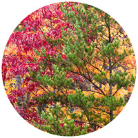 Paul Moore's Seasons and Conifers, TN Circle wall decal