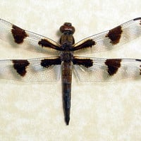 Real Male Twelve Spotted Skimmer Dragonfly Framed 8007