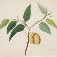 Antique Print Growing Fruit Trees (E49) €48.90 by Grandpa's Market