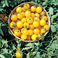 Tomato Gold Nugget D738 (Gold Cherry) 25 Organic Seeds by David's Garden Seeds