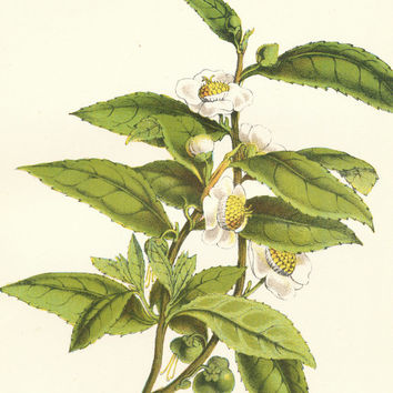 Tea, Picture of Tea Plant, Antique Botanical Print