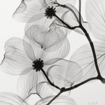 Dogwood Blossoms Positive Art Print by Steven N. Meyers at Art.com