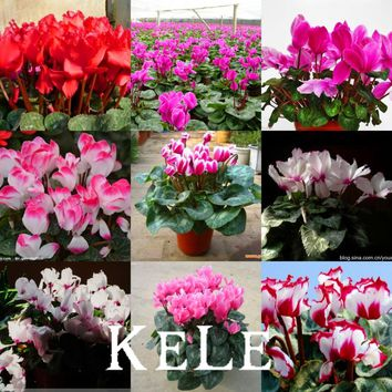 Loss Promotion!!! 100 PCS 16 Colors Cyclamen Flower Seeds Perennial Flowering Plants Cyclamen Seeds Free Shipping