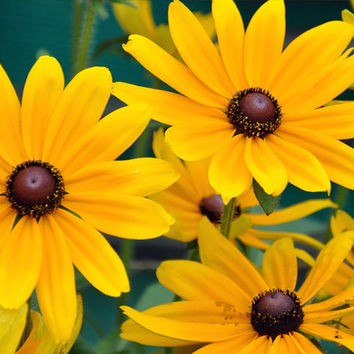 Black-Eyed Susan Flower Seeds - Non-GMO, Open Pollinated, Untreated, Heirloom, Native, Flower Seeds