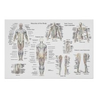 Muscle Anatomy Poster - Anterior, Posterior & Deep