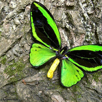 Real Green Birdwing butterfly Photography