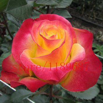 100 rose seeds rare Yellow Red Rose Seeds Fresh Exotic Rosa Flower for home garden planting