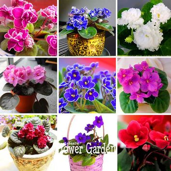Hot Sale!10 Seeds/Lot Variety of Colors Violet Seeds Garden Plants Violet Flowers Perennial Herb Matthiola Incana Seed,#EZWBZV