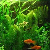 Mixed Aquarium Grass (30 Seeds)