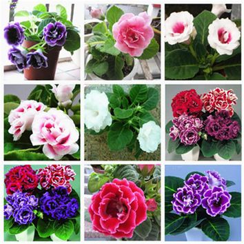 100 pcs / bag Imported Gloxinia Plant Bonsai Perennial Sinningia Gloxinia Flower SeedsPlants for Home Garden Pot Easy to Grow