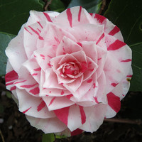 Heirloom 10 Seeds Camellia japonica Japanese camellia Tea Flower Rose of winter Mix T040
