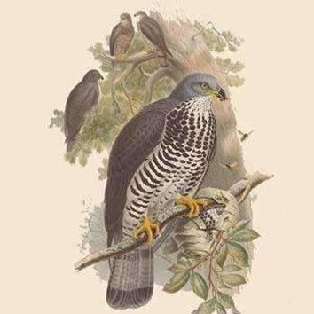 Pernis Apivorus - Honey Buzzard (Paper Poster)
