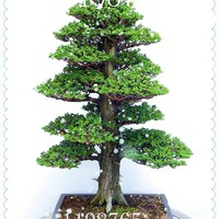 PCS  seeds  Garden  bonsai  Plant  JAPANESE  Cedar