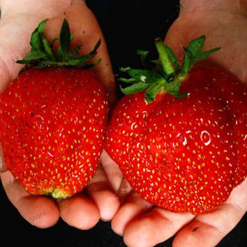 New Arrival!500 Pieces strawberry seeds giant strawberry Organic fruit seeds vegetables Non-GMO bonsai pot for home garden plant