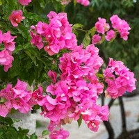Barbara Karst Bougainvillea at Brighter Blooms Nursery