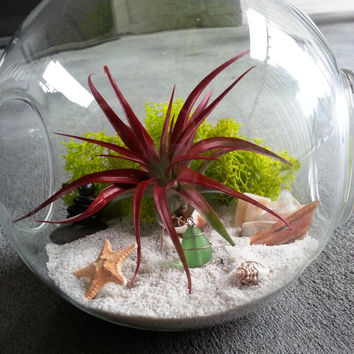 Red Air Plant Terrarium with Black Prayer Kern