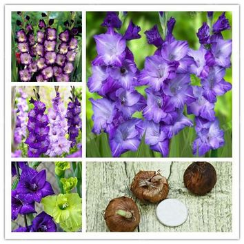 2 BulbsTrue Purple Gladiolus Bulbs,Beautiful Gladiolus Flower,(Not Gladiolu Seed),Flower Symbolizes Longevity,Plant Garden