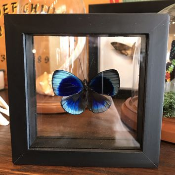 Framed Asterope Butterfly