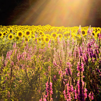 Sunflower Field, Photograph, Nature Photography, Landscape Photo, Flower Fields, Rays of Sunshine, Home Decor, Dreamy, Ethereal Photography
