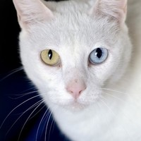 Domestic Short Hair named Spirit is available for adoption at Best Friends Sanctuary in Kanab, Utah