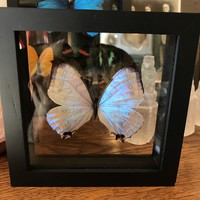 Double Glass Morpho Sulkowski