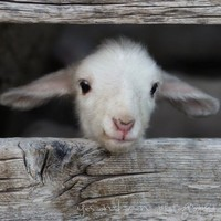 hello world  fine lamb photography and so farm fresh by YesandAmen